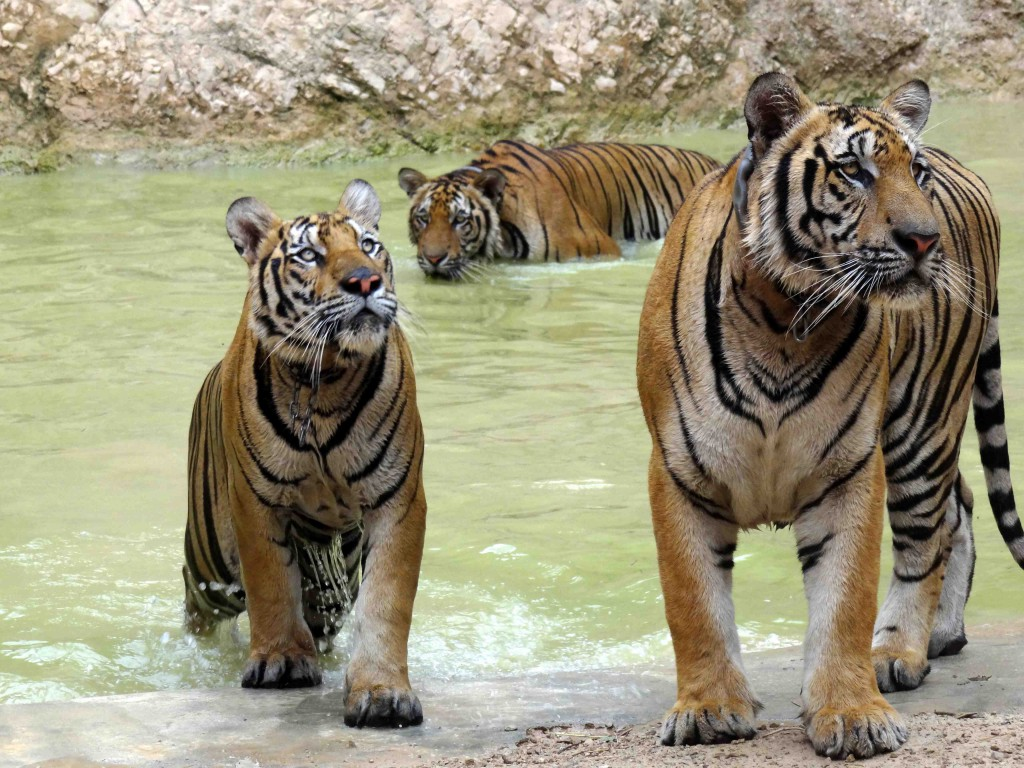 Tiger temple,kanchanaburi,tigers,thailand,bangkok