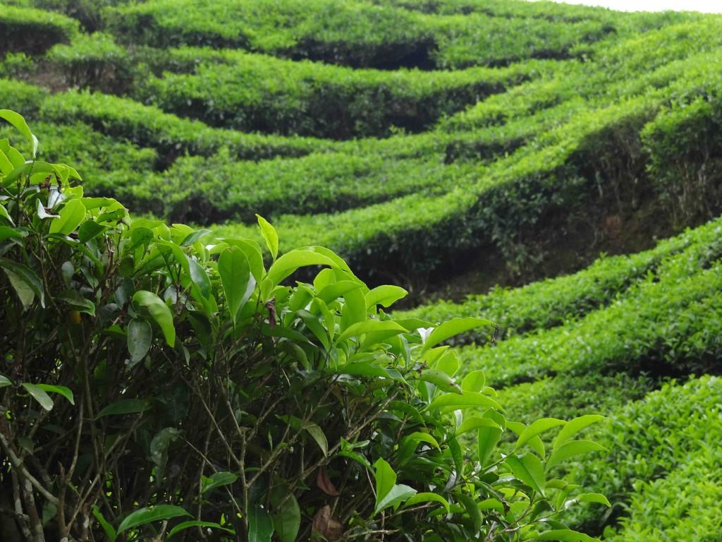 tea estate,munnar,India,Kerala