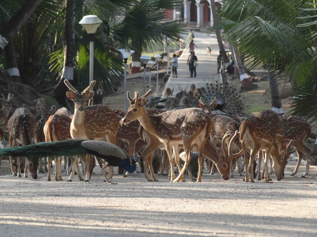 Andaman Island,India,Asia,beaches,ross island,deer,peacock