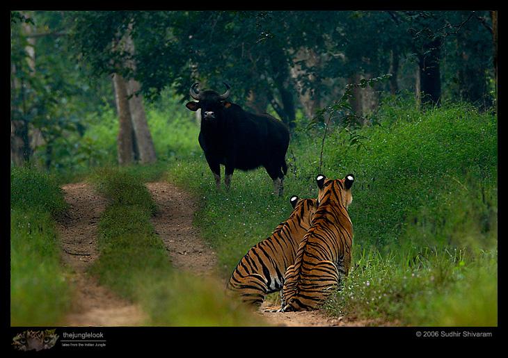 wildlife,inspire me, sudhir shivaram,photography,tigers,gaur