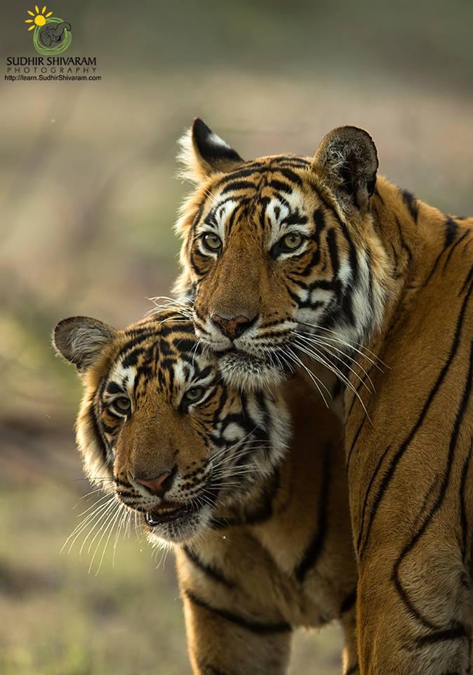 wildlife,inspire me, sudhir shivaram,photography,,tigers