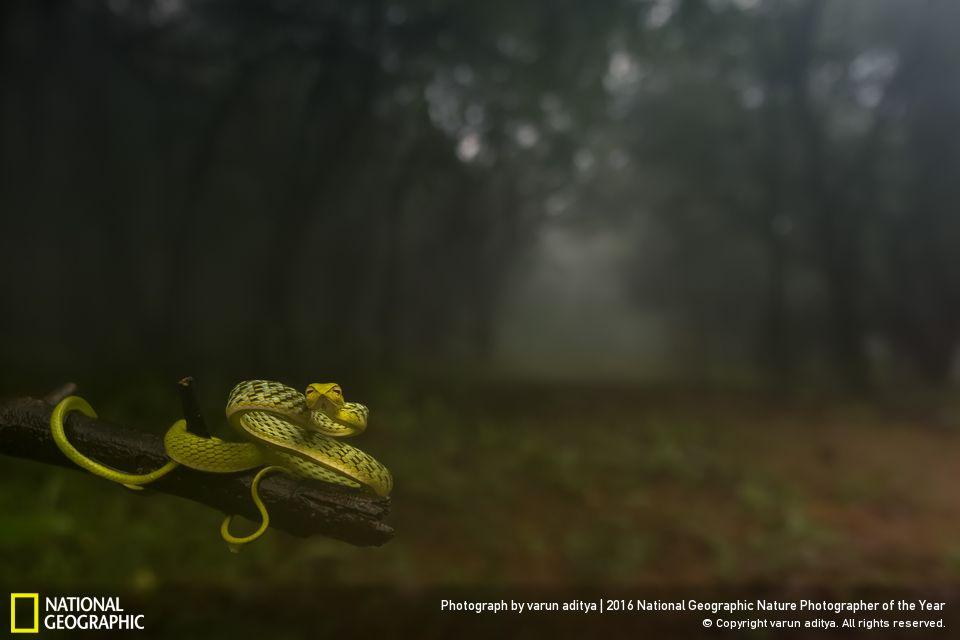 Green Vine snake,Varun Aditya,photography,NatGeo