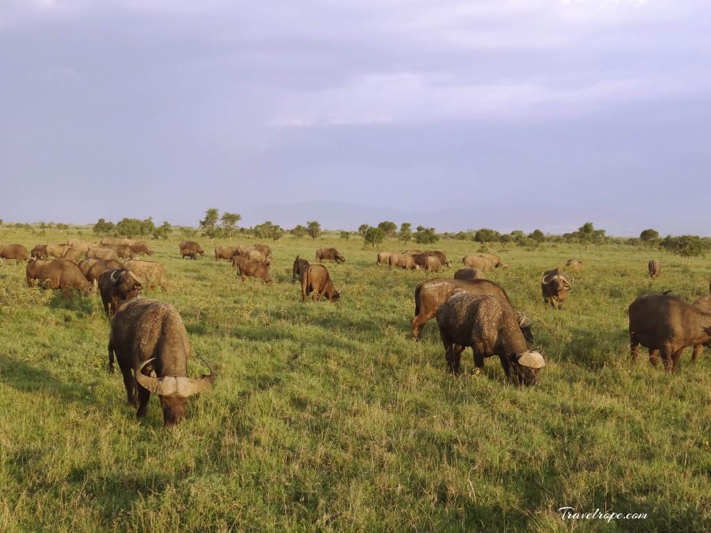Kenya,Africa,Masai Mara,Amboseli,Nakuru,wildlife,buffalo