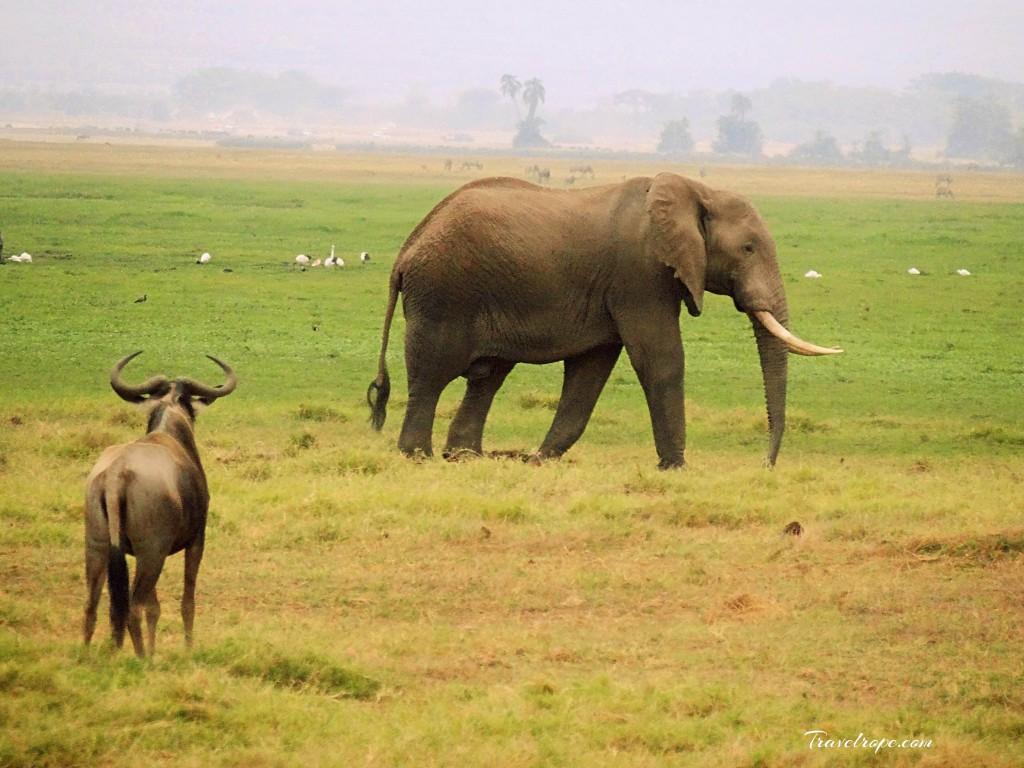 Kenya,Africa,Masai Mara,Amboseli,Nakuru,wildlife,elephants,wildebeest