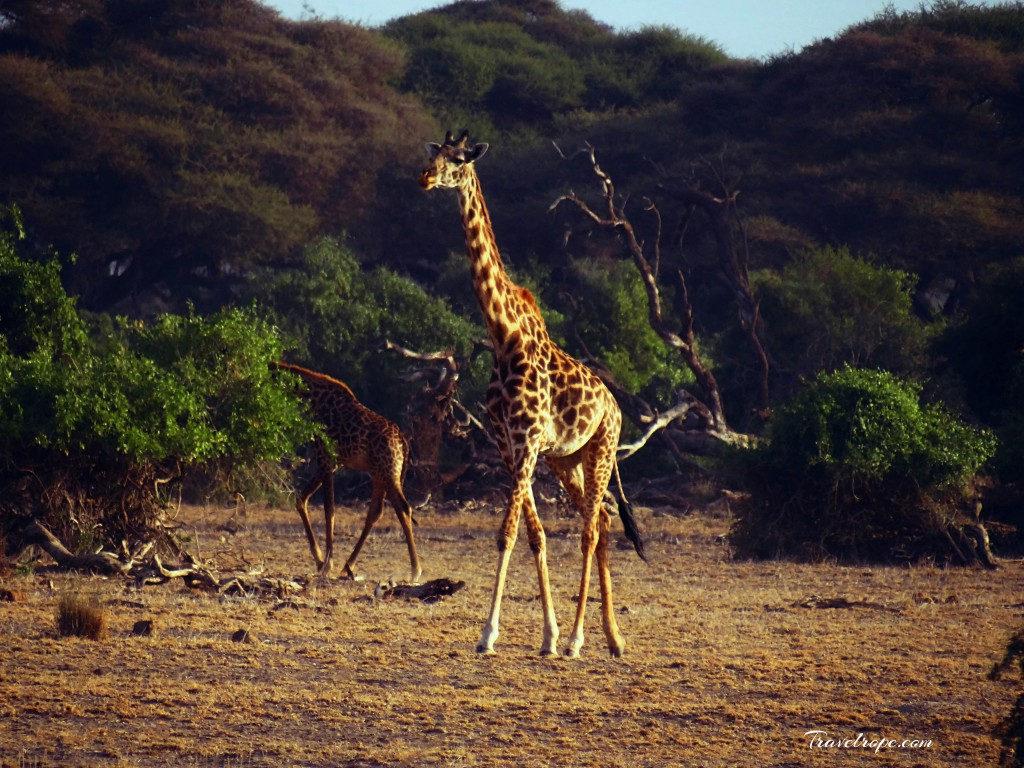 Kenya,Africa,Masai Mara,Amboseli,Nakuru,wildlife,giraffe