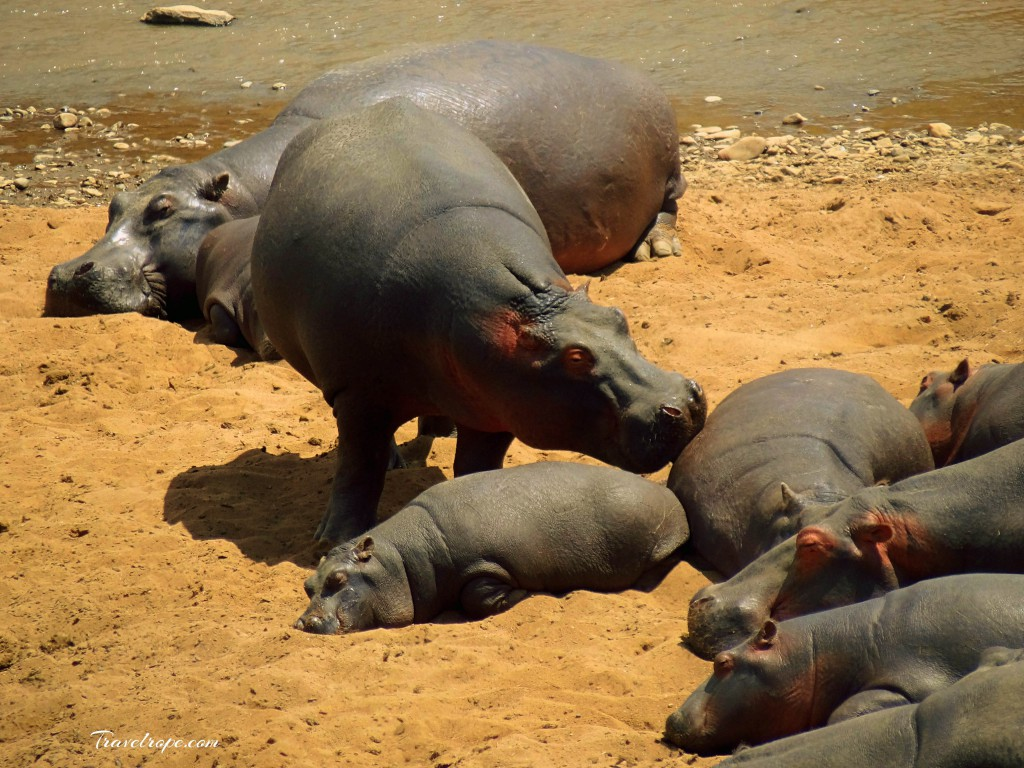 Kenya,Africa,Masai Mara,Amboseli,Nakuru,wildlife,hippo