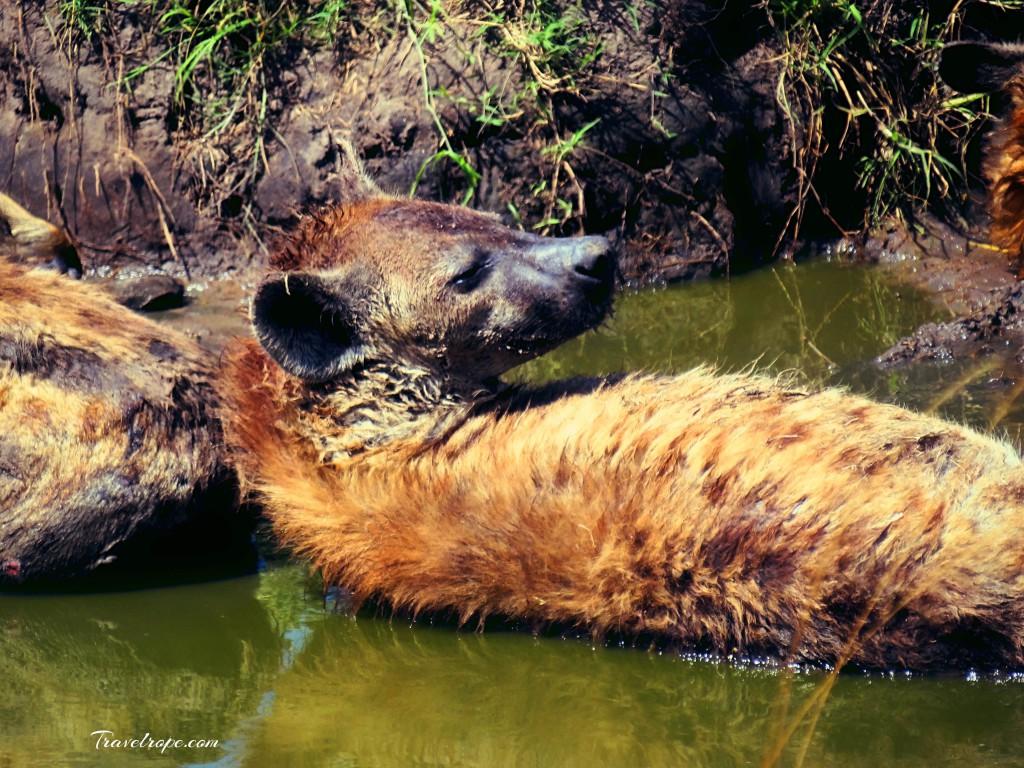 Kenya,Africa,Masai Mara,Amboseli,Nakuru,wildlife,hyenas