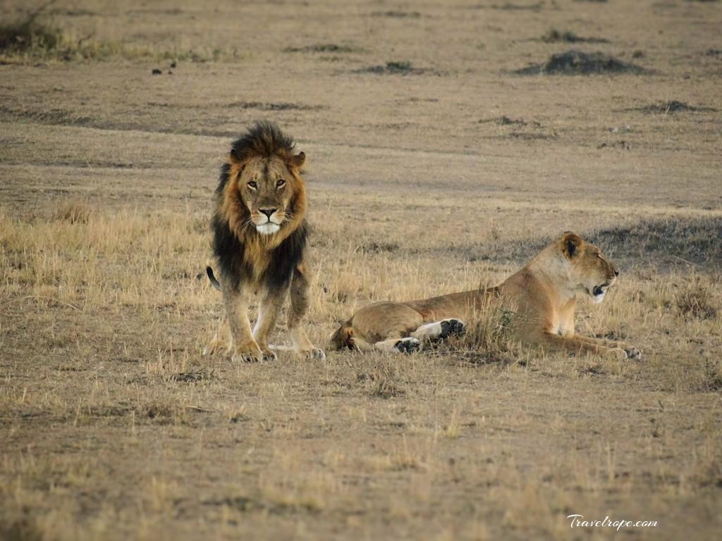 Kenya,Africa,Masai Mara,Amboseli,Nakuru,wildlife,lions