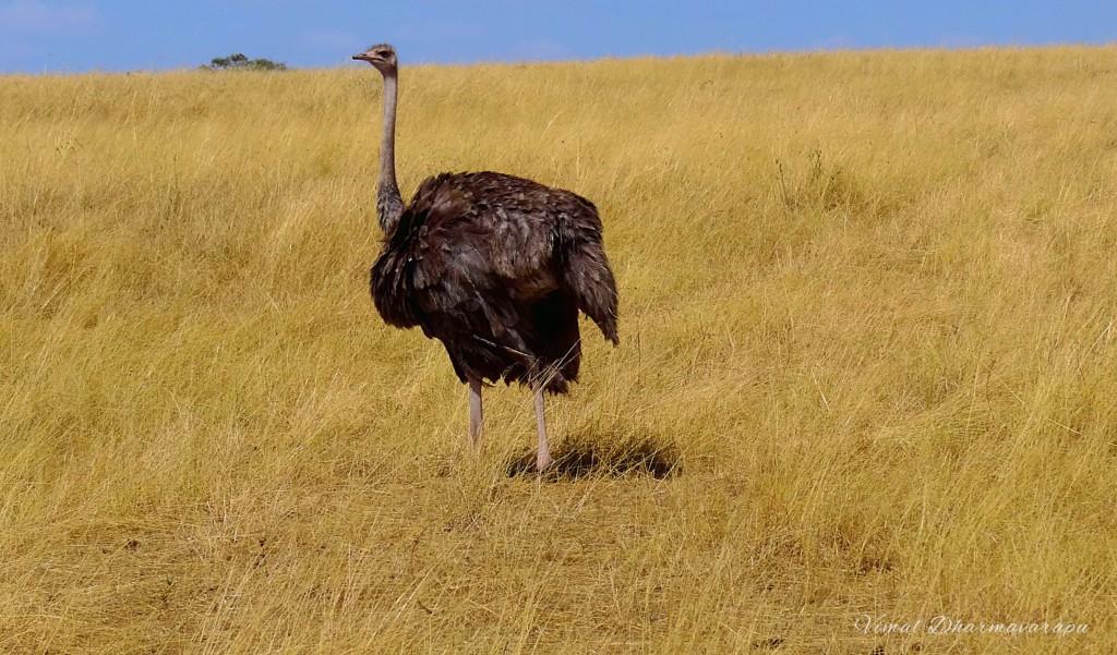 Kenya,Africa,Masai Mara,Amboseli,Nakuru,wildlife,ostrich