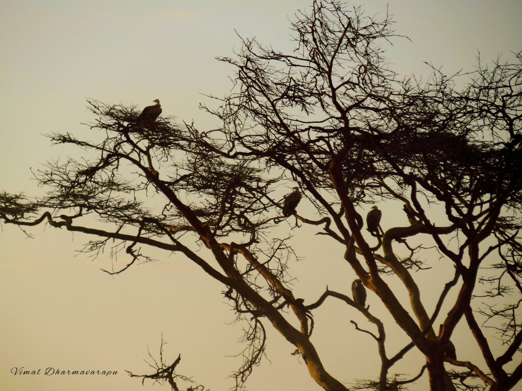 Kenya,Africa,Masai Mara,Amboseli,Nakuru,wildlife,vultures