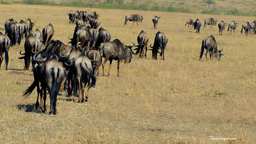 Kenya,Africa,Masai Mara,Amboseli,Nakuru,wildlife,wildebeests