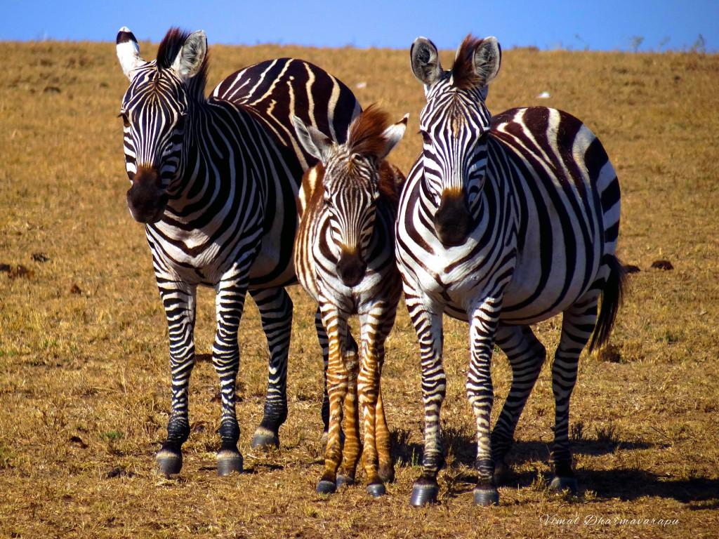 Kenya,Africa,Masai Mara,Amboseli,Nakuru,wildlife,zebras
