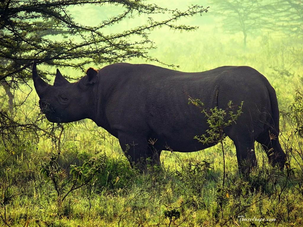 Kenya,Africa,Masai Mara,Amboseli,Nakuru,wildlife,rhinos