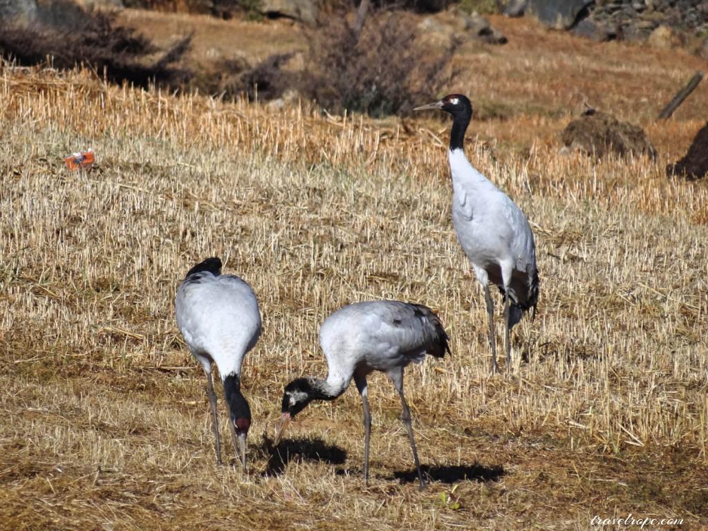 Pobhjikha Valley, Bhutan, Thimphu, Paro, Punakha, travel,mountains, nature, black necked cranes